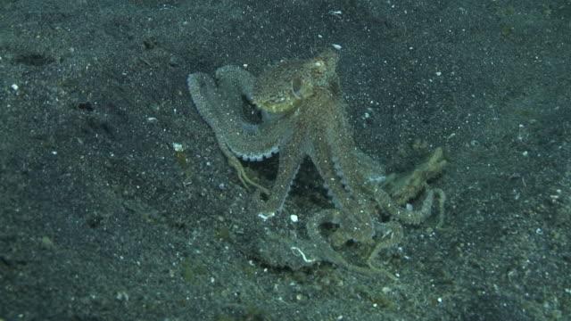 vídeos y material grabado en eventos de stock de mimic octopus - pulpo