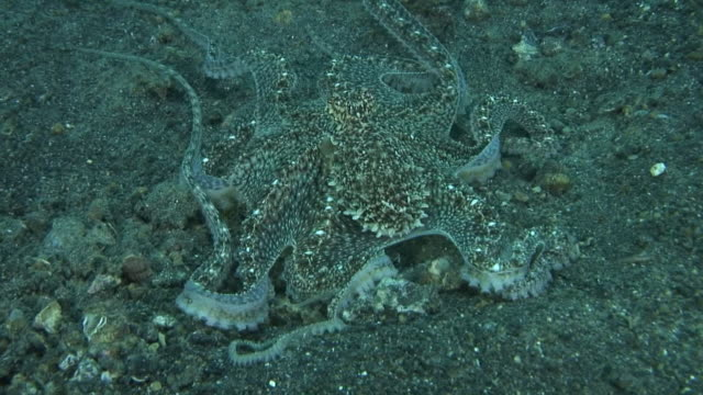 mimic octopus - disguise stock videos & royalty-free footage