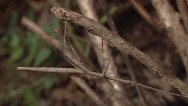 mimicking stick insect - walking stick stock videos & royalty-free footage