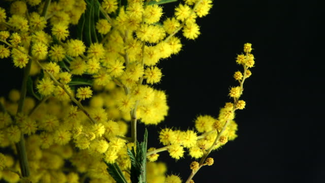 Mimosa flower blooming
