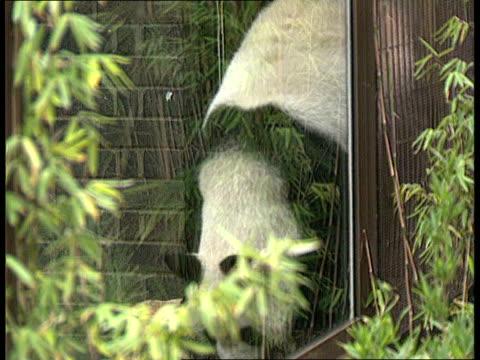 vídeos de stock, filmes e b-roll de ming ming the panda on loan at london zoo england london london zoo cms edward heath mp cutting opening ribbon ms press photographers cms man taking... - parque regents