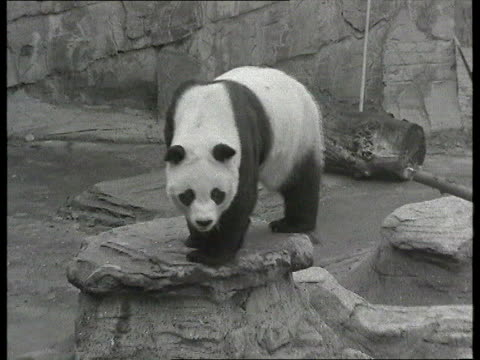 Ming Ming the Panda on loan at London Zoo EXT TCMS Chia Chia climbing over rocks PULL OUT TCMS Panda next travelling box with sign 'ChiChi Moscow to...