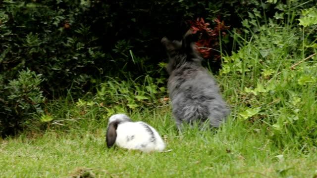 mini lop rabbits eating and playing - 動物の子供点の映像素材/bロール