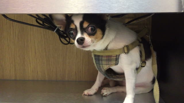 miniature chihuahua tilting it's head