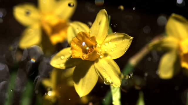miniature daffodils in rain shower, slow motion - daffodil stock videos & royalty-free footage