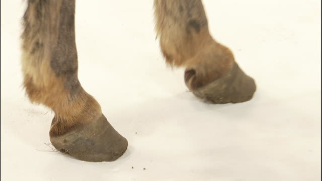 stockvideo's en b-roll-footage met a miniature donkey stands on a white surface. - hoef