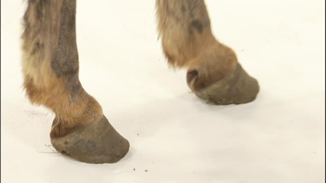 vidéos et rushes de a miniature donkey stands on a white surface. - sabot