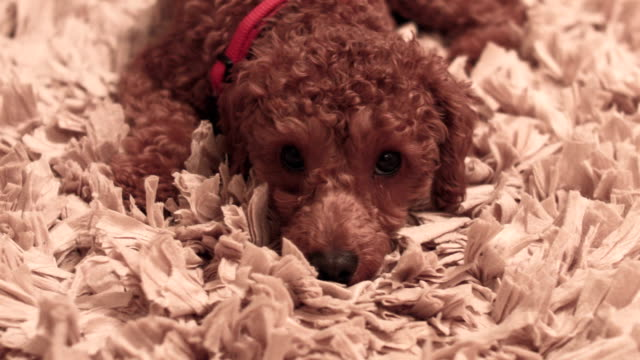 Miniature Poodle Dog On Rug at Home