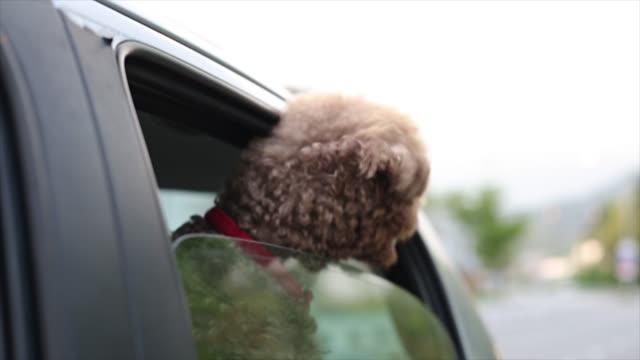 Miniature Poodle enjoy