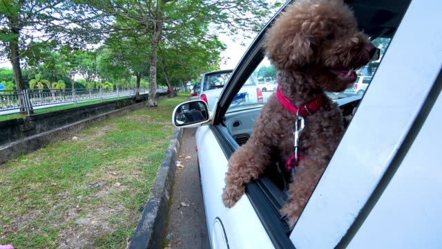 Miniature Poodle looking