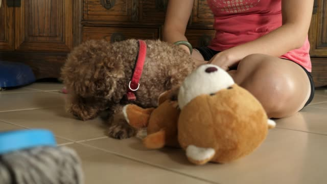 miniature poodle playing - curly stock videos & royalty-free footage