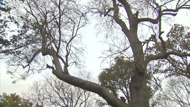 ministers will hold a crisis meeting this morning to discuss a disease that's threatening the existence of britain's ash trees environment secretary... - ash tree stock videos & royalty-free footage