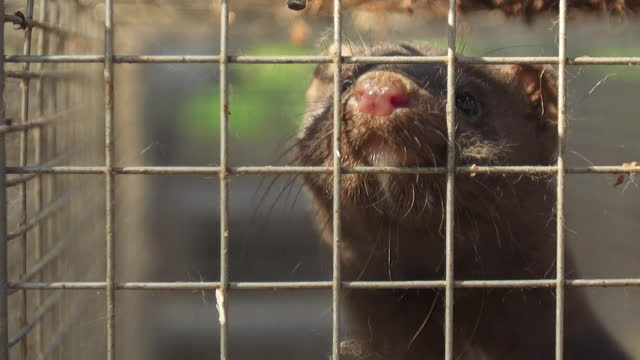 """mink in cages on mink farm in denmark - """"bbc news"""" stock videos & royalty-free footage"""