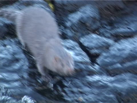 Mink  MCU on rocks by shoreline leaves frame L behind rocks, camera tracks as swims towards camera then out of frame L