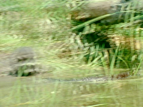 mink swimming rapidly past raccoons on shore - bulrush stock videos & royalty-free footage
