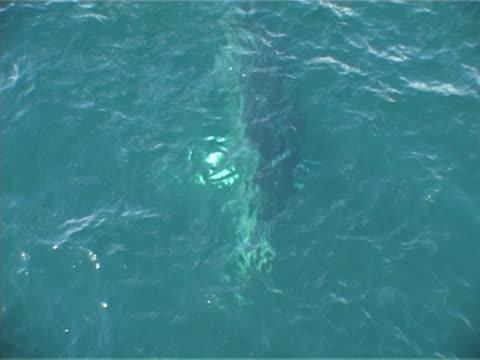vidéos et rushes de minke whale approaching whale watchers - petit rorqual