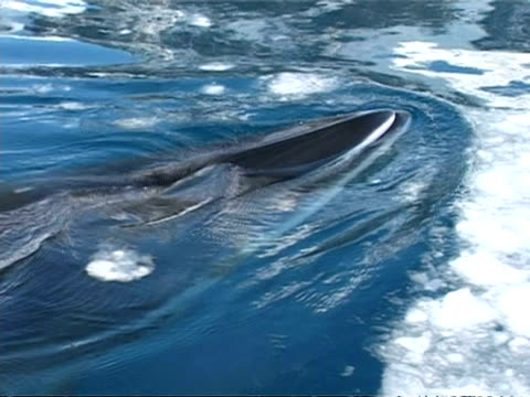 cu minke whale, balaenoptera acutorostrata, surfacing amongst ice, antarctica - surfacing stock videos & royalty-free footage