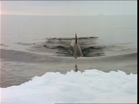 a minke whale dives below icy waters. - antarctica whale stock videos & royalty-free footage