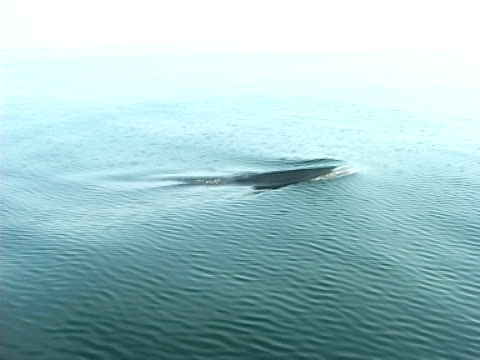 mcu minke whale following research vessel, surfacing and arching to dive (2006). st lawrence, canada. - surfacing stock videos & royalty-free footage