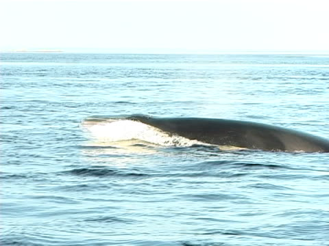 mcu minke whale head slapping to entrap prey and roll right (2004). st lawrence, canada. - dwarf minke whale stock videos & royalty-free footage
