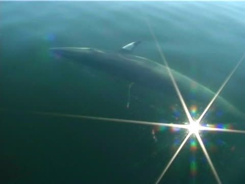 Minke whale (Balaenoptera acutorostrata) interacting with boat and people, St Lawrence, Canada.
