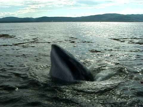 mcu minke whale lungeing for food at the surface close to camera, (2002). st lawrence, canada. - dwarf minke whale stock videos & royalty-free footage