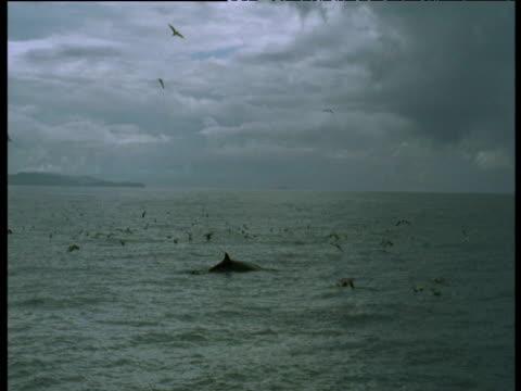 vidéos et rushes de minke whale surfaces, western scotland - petit rorqual
