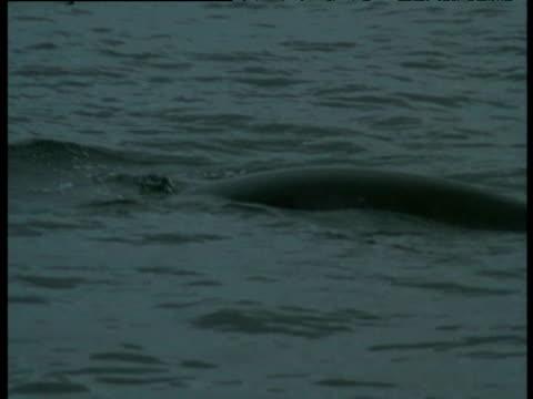 Minke Whale surfaces, Western Scotland
