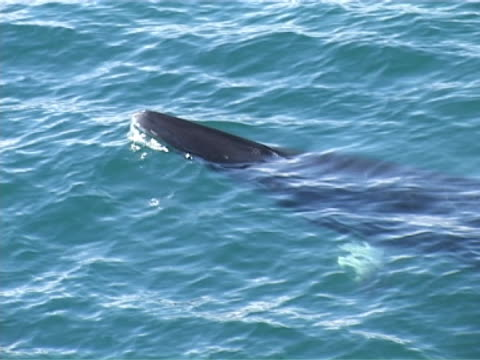 minke whale surfacing and going down. - surfacing stock videos & royalty-free footage