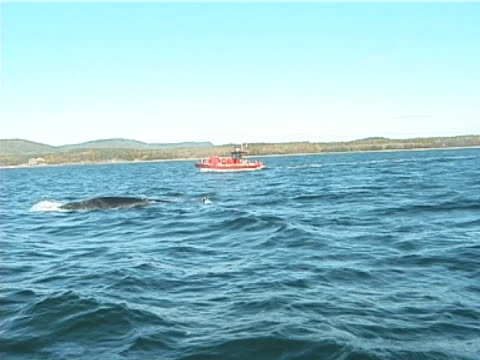Minke whale surfacing, blow and dive, with whale watching boat (2004)