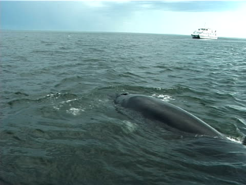 minke whale surfacing near camera with whale watching boat behind, (2002). st lawrence, canada. - dwarf minke whale stock videos & royalty-free footage