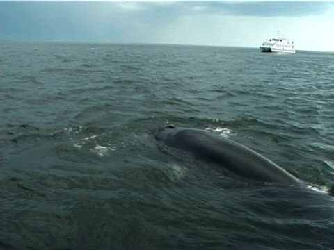 Minke whale (Balaenoptera acutorostrata), surfacing near camera with whale watching boat behind, (2002). St Lawrence, Canada.