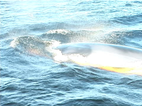 minke whale surfacing near to camera, powerful tail movement as it accelerates away (2002). st lawrence, canada. - surfacing stock videos & royalty-free footage