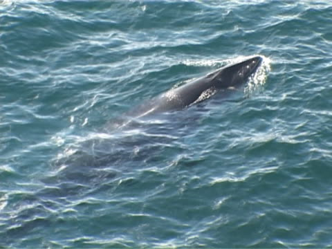 minke whale surfacing slowly - surfacing stock videos & royalty-free footage