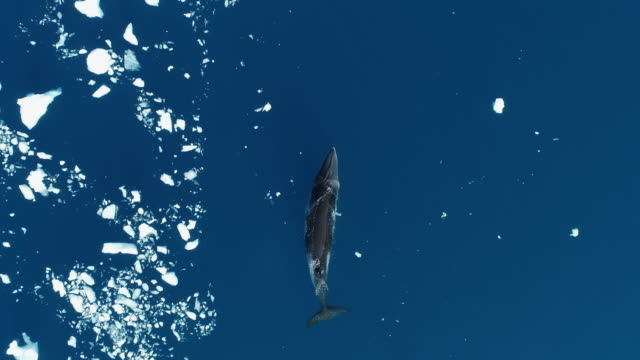 minke whale swimming - whale stock videos & royalty-free footage