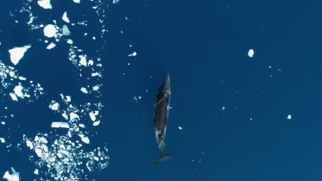 minke whale swimming - cetacea stock videos & royalty-free footage