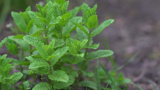 mint herb - herb garden stock videos & royalty-free footage