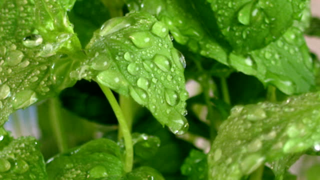 mint leaves and water drop - mint leaf culinary stock videos and b-roll footage