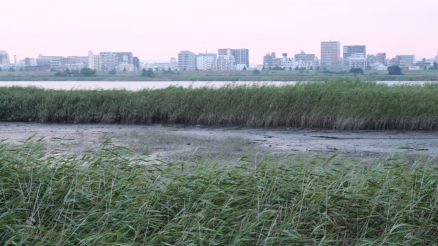 stockvideo's en b-roll-footage met miscanthus geclusterd in wetland wiegende door de wind in de zonsondergang - waterkant