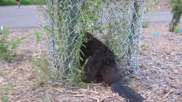 mischievous beaver didn't let a fence stop him as he stole a young tree in saskatoon, recently posted https://www.youtube.com/watch?v=aptqpsmgdda... - https stock-videos und b-roll-filmmaterial