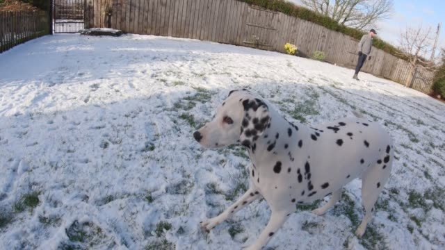 mischievous dogs playing in the snow - dalmatian dog stock videos and b-roll footage