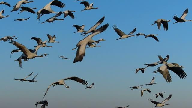 miss cranes - flock of birds stock videos & royalty-free footage