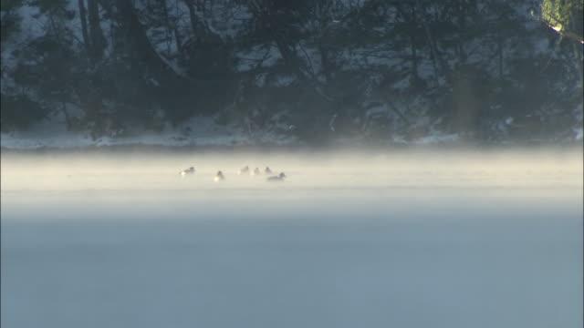 vidéos et rushes de mist drifts over lake yunoko as water birds swim and dive, - neige fraîche