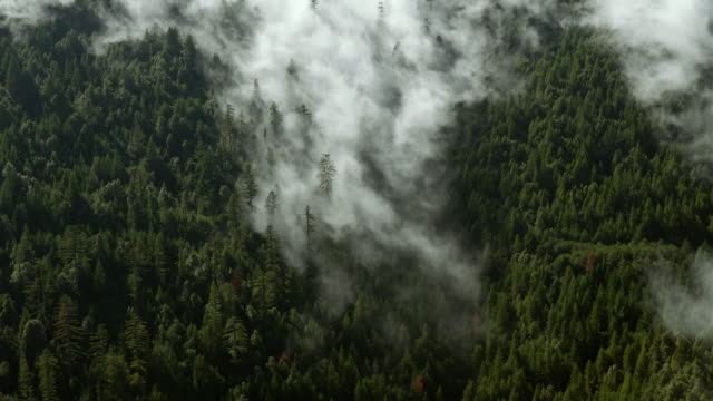 Mist moves through a thick forest of mountain evergreens.