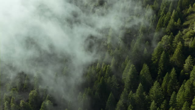 Mist rolls over a mountainside covered with California Redwoods.