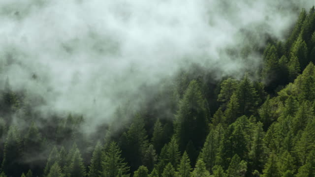 Mist washes over the treetops of a redwood forest in Northwest California.