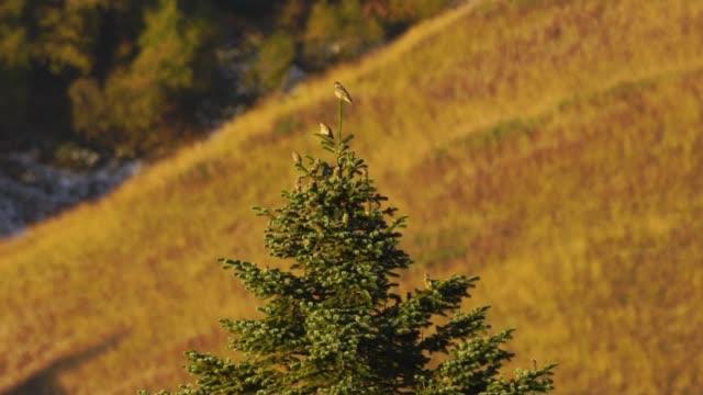 mistle thrush (turdus viscivorus) - thrush stock videos & royalty-free footage