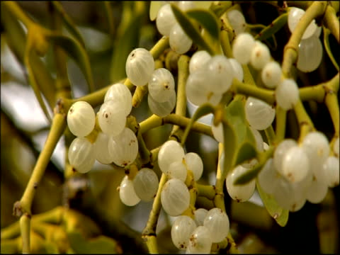 Mistletoe (Viscum album) berries, Autumn, Parque Natural Sierra de Hornachuelos, Cordoba, Andalusia, Southern Spain