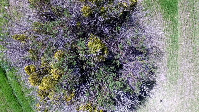 Mistletoe Covered Tree, Aerial Video