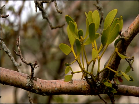 Mistletoe (Viscum album) leaves, Autumn, Parque Natural Sierra de Hornachuelos, Cordoba, Andalusia, Southern Spain